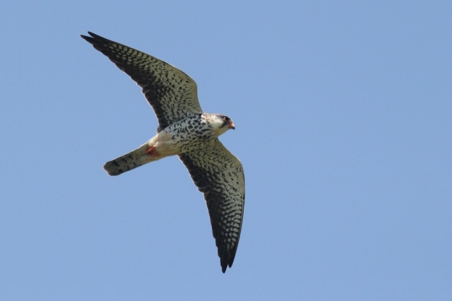 Female Amur falcon