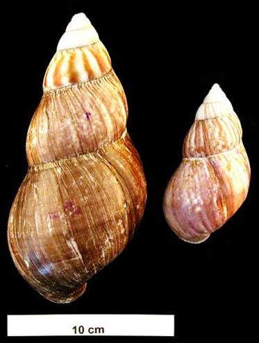 Achatina fulica shell