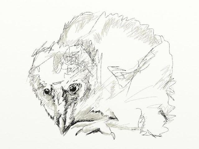 baby barn owl.jpg