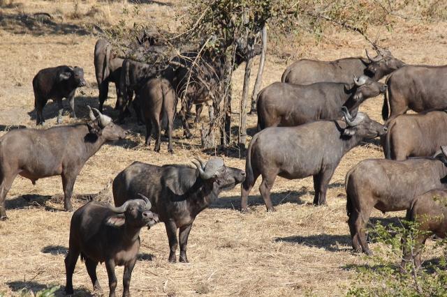 buffalo at Tsavene lo res.JPG