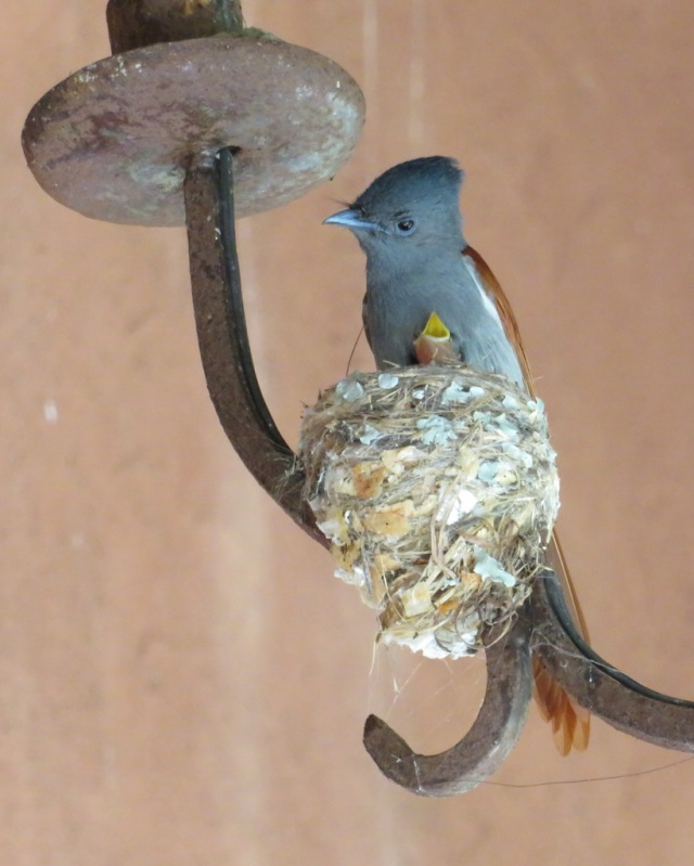 paradise flycatcher and chick